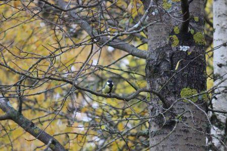Talitiainen puussa