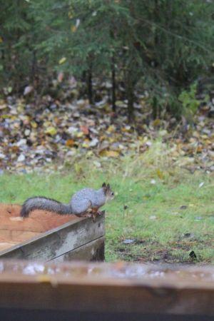 Orava kököttää
