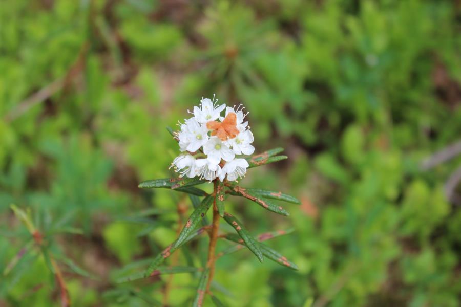 Suopursun kukka