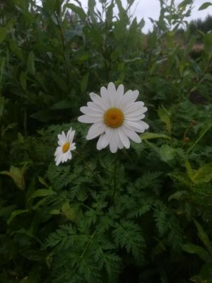 Vielä kukkii