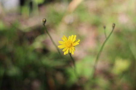 Syysmaitiaisen kukka