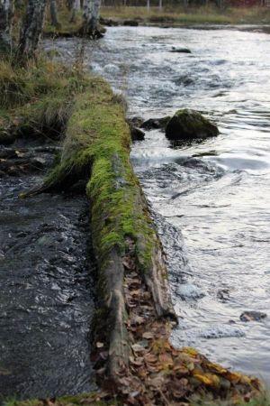 Sammaloitunut puunrunko
